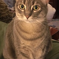 Adopt A Pet :: Guacamole - Centreville, VA