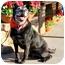 Photo 2 - Labrador Retriever/American Staffordshire Terrier Mix Dog for adoption in Marina del Rey, California - Wilbur