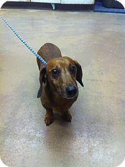 Dachshund Dog for adoption in Chicago, Illinois - Brody