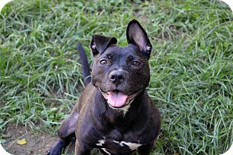 American Pit Bull Terrier Mix Dog for adoption in New York, New York - Sasha