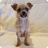 Adopt A Pet :: Scrappy Doo - Knoxville, TN