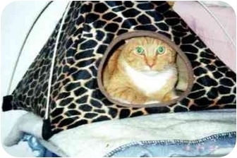Domestic Shorthair Cat for adoption in Quincy, Massachusetts - Fred