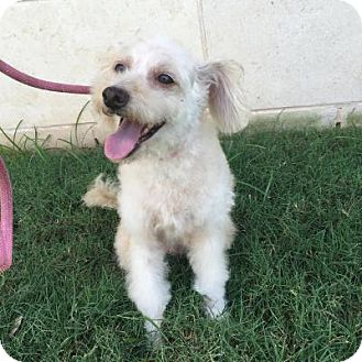 Maltese/Poodle (Miniature) Mix Dog for adoption in Nanuet, New York - Abigail