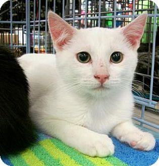 Domestic Shorthair Cat for adoption in Castro Valley, California - Dillon