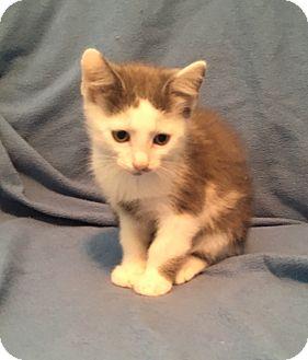 Domestic Shorthair Kitten for adoption in Greensburg, Pennsylvania - Moe
