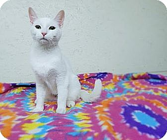 Domestic Shorthair Cat for adoption in Putnam Hall, Florida - Camden