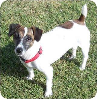 Jack Russell Terrier Dog for adoption in Phoenix, Arizona - QUEENIE