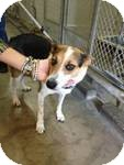 Australian Kelpie/Australian Shepherd Mix Dog for adoption in Simi Valley, California - Honey