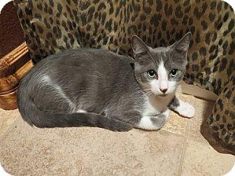 Domestic Shorthair Cat for adoption in Tustin, California - Jett