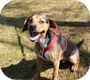 Beagle Mix Puppy for adoption in Tinton Falls, New Jersey - Koby