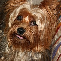 Yorkie, Yorkshire Terrier Dog for adoption in Statewide and National, Texas - Jax