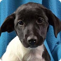 Adopt A Pet :: Pepper - Minneapolis, MN