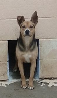 Australian Kelpie/Labrador Retriever Mix Dog for adoption in Odessa, Texas - Waylon