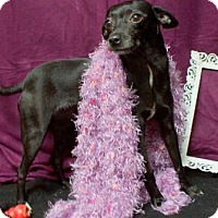 Adopt A Pet :: Paisley (D17-037) - Lebanon, TN