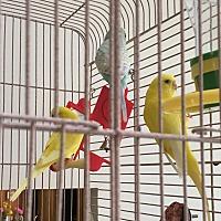 Adopt A Pet :: 3 Parakeets - Punta Gorda, FL