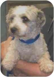 Maltese Mix Dog for adoption in Old Bridge, New Jersey - Bernie
