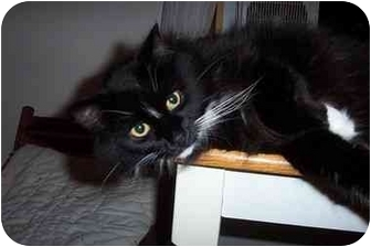Domestic Longhair Cat for adoption in Portland, Maine - Zephyr
