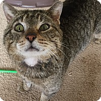 Domestic Shorthair Cat for adoption in Frankfort, Illinois - Leo