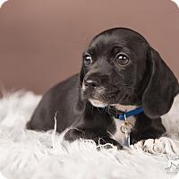Adopt A Pet :: Lupine - Salem, OR