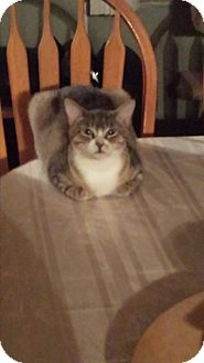 Domestic Shorthair Kitten for adoption in Bayville, New Jersey - Diamond