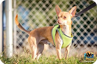 Chihuahua Mix Dog for adoption in Evansville, Indiana - Pistol