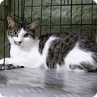 Domestic Shorthair Cat for adoption in Marlinton, West Virginia - Adele