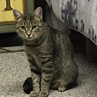 Domestic Shorthair Cat for adoption in Rochester Hills, Michigan - Coco