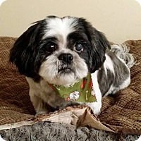 Shih Tzu Dog for adoption in Lawrenceville, Georgia - Grayson