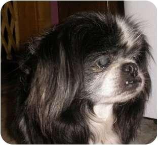 Pekingese/Shih Tzu Mix Dog for adoption in Mays Landing, New Jersey - Hudson-VA
