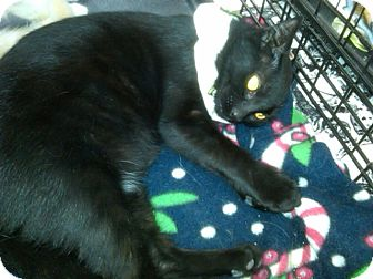 Domestic Shorthair Cat for adoption in Sterling Hgts, Michigan - Rosa