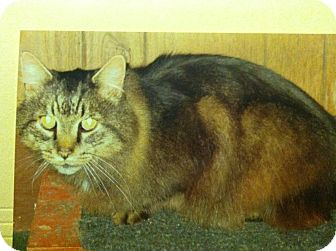 Domestic Longhair Cat for adoption in Clay, New York - SIR TALKSALOT
