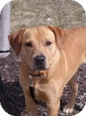 Labrador Retriever Mix Dog for adoption in Lewisville, Indiana - Kirkland