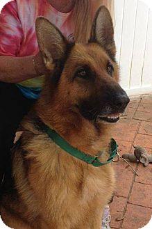 German Shepherd Dog Dog for adoption in Ormond Beach, Florida - Liza