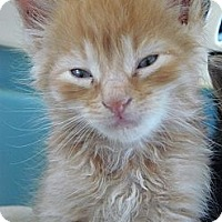Adopt A Pet :: Opie - Island Park, NY
