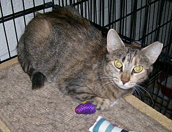 Domestic Shorthair Cat for adoption in Scottsdale, Arizona - Mitzi