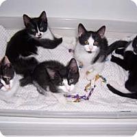 Adopt A Pet :: Roger - Merrifield, VA