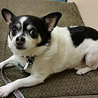 Adopt A Pet :: Chico - Pitt Meadows, BC
