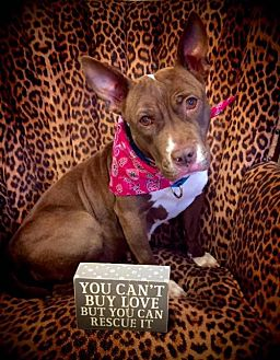 American Staffordshire Terrier Mix Dog for adoption in Whitestone, New York - Elssa