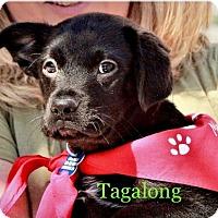 Adopt A Pet :: Tagalong - Alpharetta, GA
