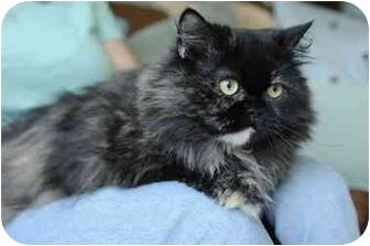 Persian Cat for adoption in Columbus, Ohio - Tonya