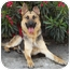 Photo 2 - German Shepherd Dog Dog for adoption in Los Angeles, California - Monty von Montoya