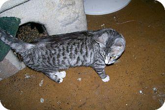 Domestic Shorthair Cat for adoption in Scottsdale, Arizona - Daisy