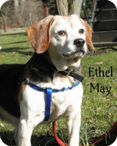 Beagle Mix Dog for adoption in Warren, Pennsylvania - Ethel May