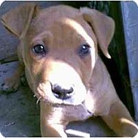 Adopt A Pet :: Pumpkin - dewey, AZ