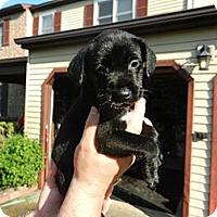 Adopt A Pet :: Midnight - South Jersey, NJ