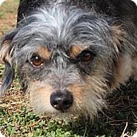 Adopt A Pet :: Buttercup - Brattleboro, VT