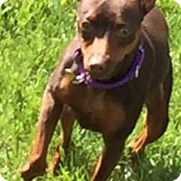 Adopt A Pet :: Dozer - Sacramento, CA