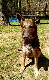 German Shepherd Dog Dog for adoption in Morrisville, North Carolina - Luna2