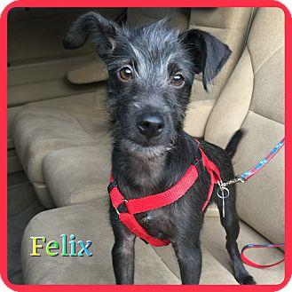 Schnauzer (Miniature) Mix Puppy for adoption in Hollywood, Florida - Felix