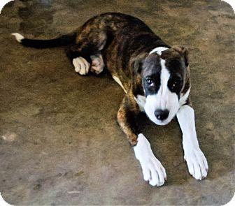 Coonhound (Unknown Type) Mix Dog for adoption in Savannah, Georgia - Zeva